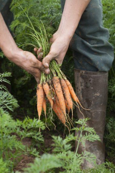 Skördar morötter