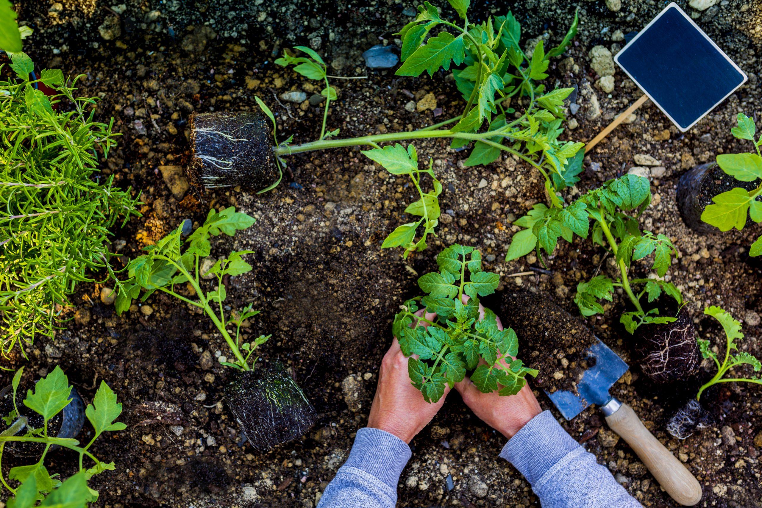 Plantering i full gång. Nya växter på väg att sättas ner i jorden