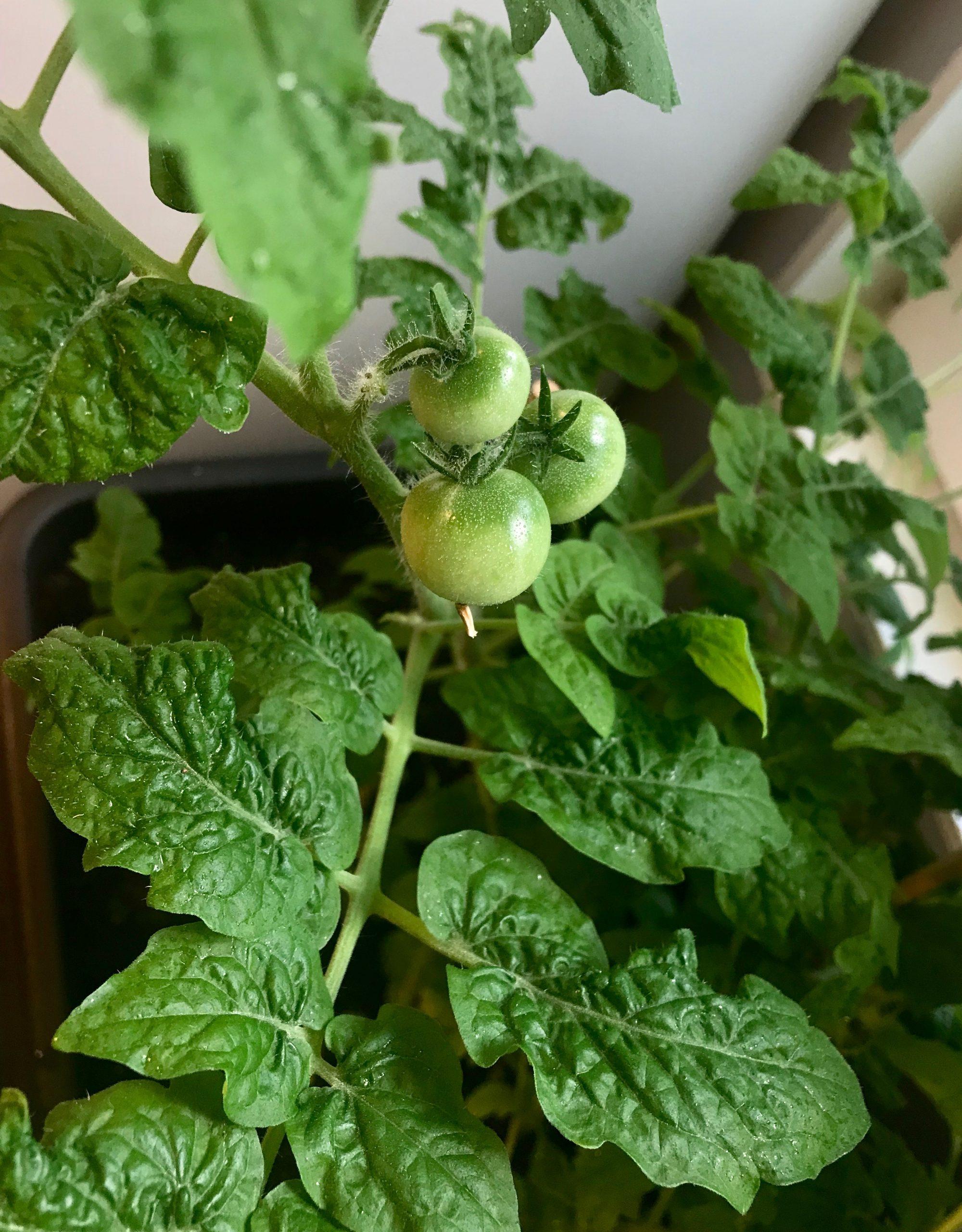 Tomatplanta som håller på att gro